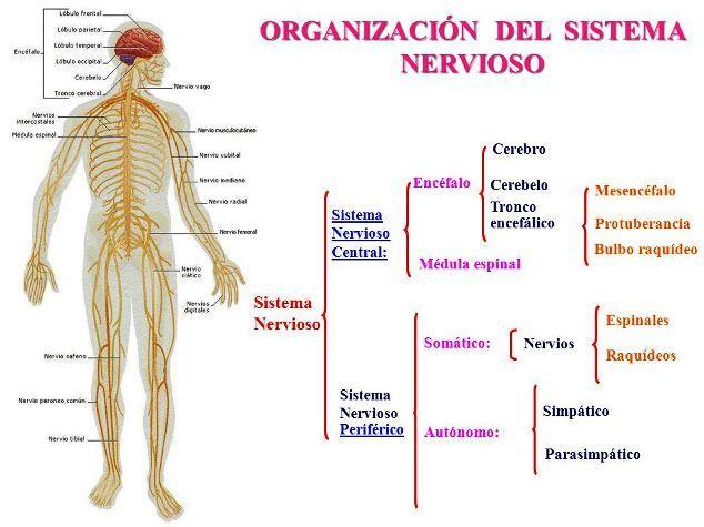 Cómo se divide el sistema nervioso