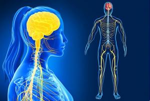 Qué es y cómo se estructura el sistema nervioso