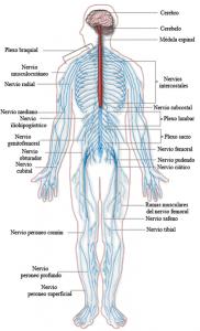 El sistema nervioso parte a parte