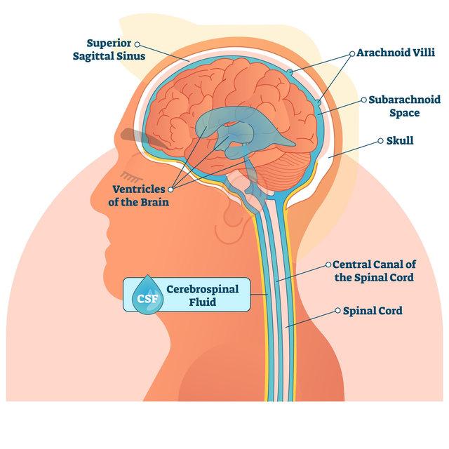 El líquido cefalorraquídeo es esencial para proteger el cerebro y la médula espinal